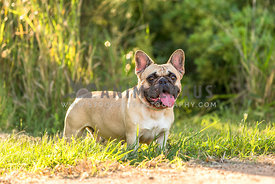 French bulldog in the sunshine