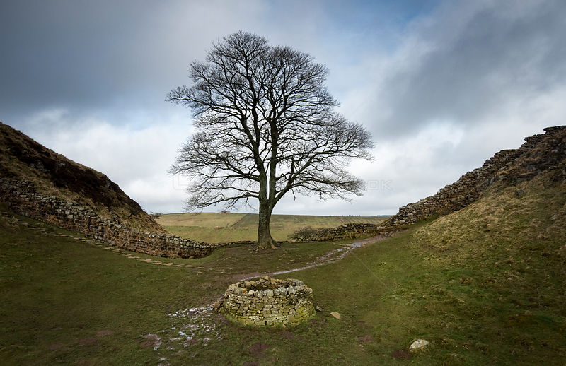 Sycamore (Acer pseudoplatanus) in Sycamore Gap, Hadrian's Wall. The wall is constructed on The Whin Sill, a layer of hard int...
