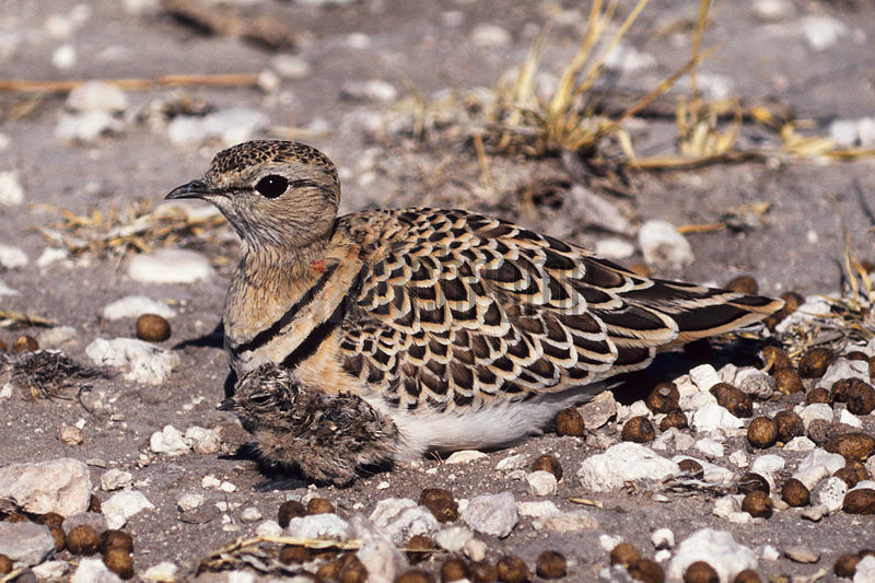 Double banded Courser with chick