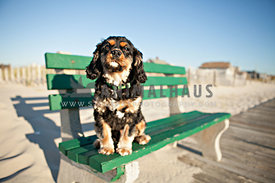cavalier king charles stting on green bench