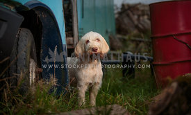 Spinone puppy sat by abandoned bus