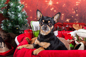 chihuahua sitting in toy box with christmas backdrop