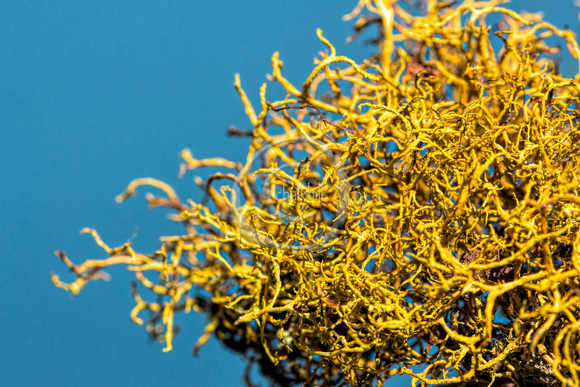 Golden Hair Lichen
