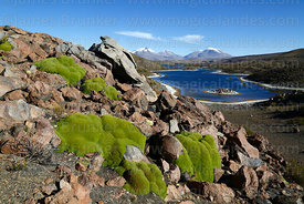 Yareta plants (Azorella compacta), Lake Chungará and Guallatiri volcano in background, Lauca National Park, Region XV, Chile