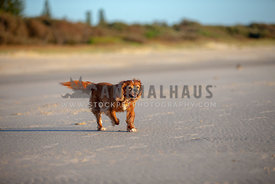 Dog walking happily along a beach
