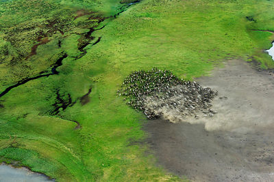 Aerial view of Reindeer (Rangifer tarandus) fording water whilst being herded by Nenet herders. Nenets Autonomous Okrug, Arct...