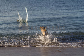 medium size mutts jumping into the ocean to fetch a wooden stick