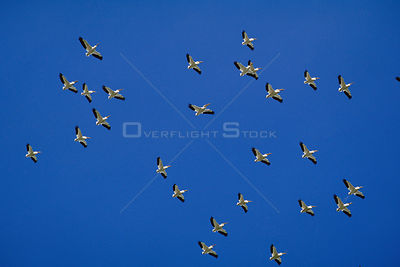 Flock of American white pelicans flying {Pelecanus erythrorhynchos} Colorado, USA