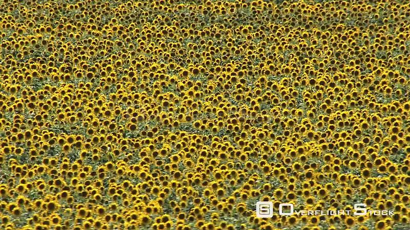 Aerial shot of a sunflower field North West South Africa