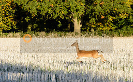 Deer - The Cottesmore at Witham On The Hill 24/9