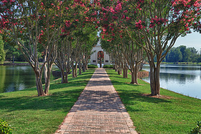 Crepe Myrtles along Path