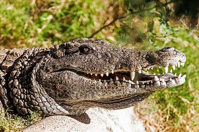 Closeup Of Dangerous Crocodile