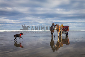 dog leading the way for horses pulling cart on the beach
