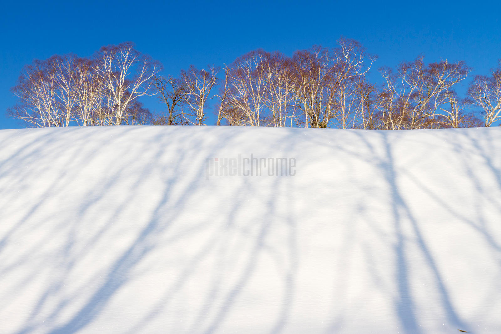 Snow Bank and Silver Birch Trees