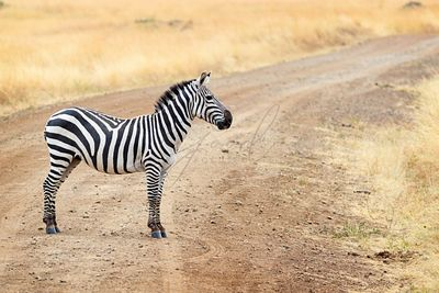 One Zebra on Dirt Road in Africa