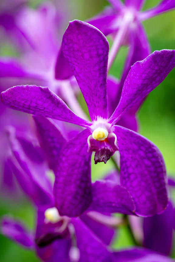 botanical garden, close up, close upp, macro, orchid, singapore