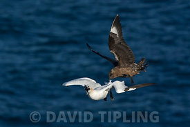 Great Skua Stercorarius skua attacking Gannet on route back to its colony, to make it disgorge fish, behaviour known as Klept...