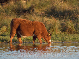 Bullock (beef cattle) drinking on marsh North Norfolk autumn