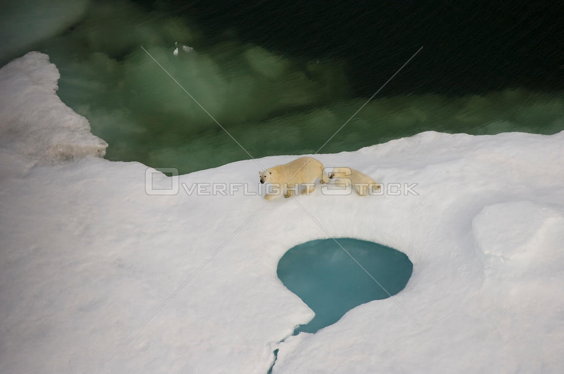Aerial view of Polar bear (Ursus maritimus) sow with cub walking on multi-layer ice (freshwater pans formed over the years wh...