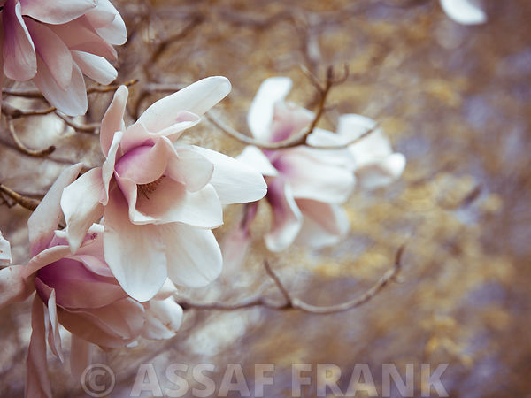 Magnolia flowers on a branch