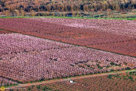Peach Orchards in Bloom from the Air #8