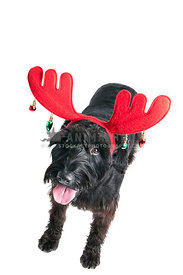 Dog with Reindeer Antlers looking at Camera isolated on white