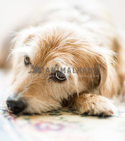 scruffy dog lying down looking bored