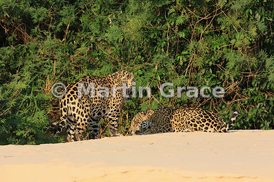 Female Jaguar 'Hunter' (Panthera onca) (right) lies down inviting 'Hero' to mount her, Three Brothers River, Northern Pantana...