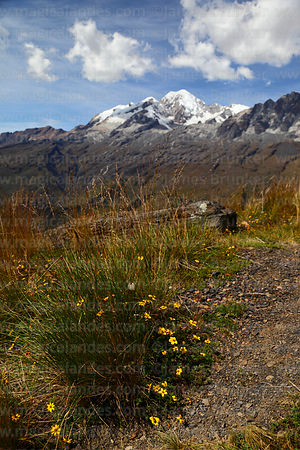 Yellow flowers and Mt Illampu, Cordillera Real, Bolivia