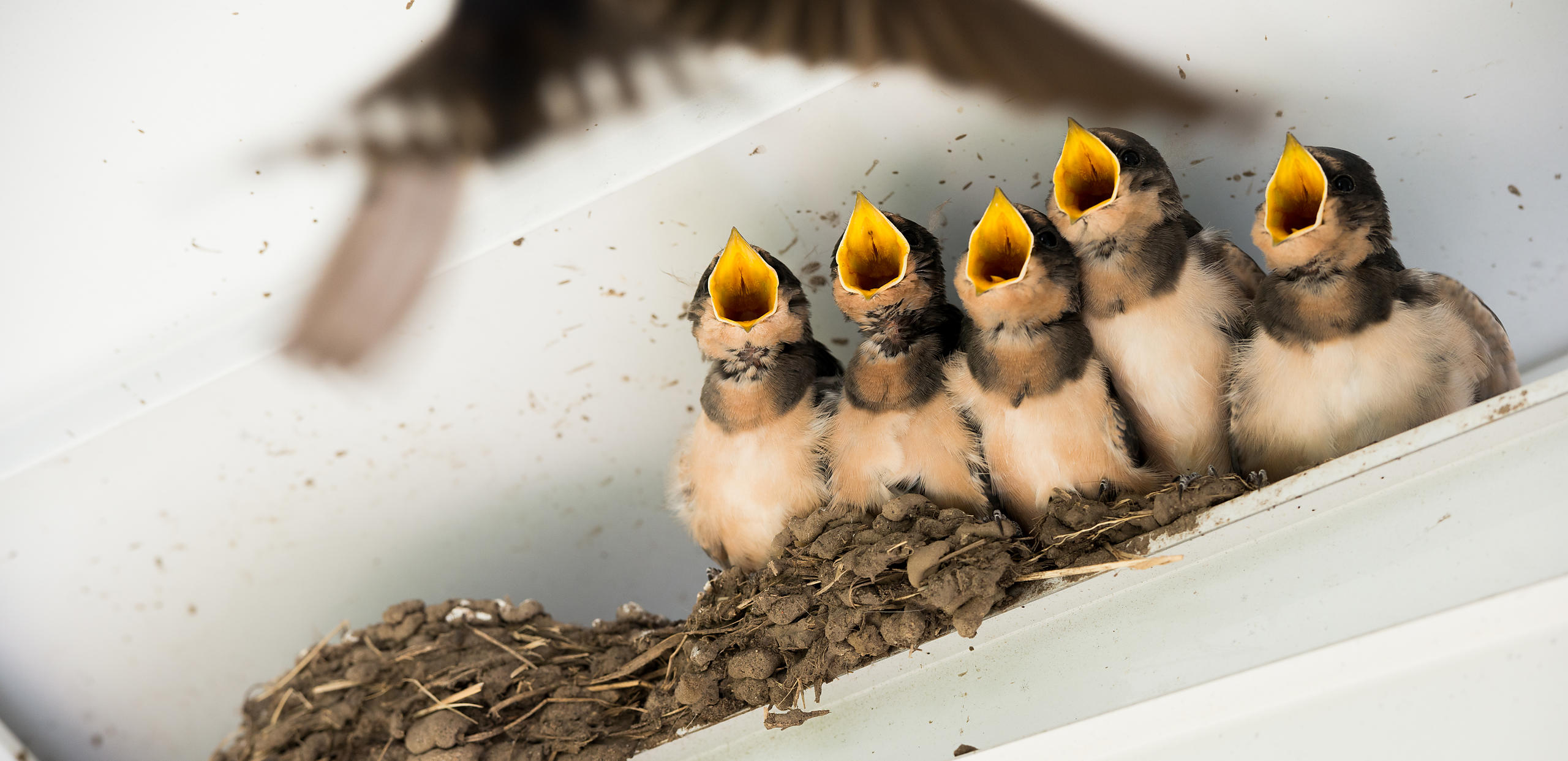 Hungry baby Barn Swallows