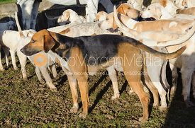 Cottesmore foxhounds at the meet