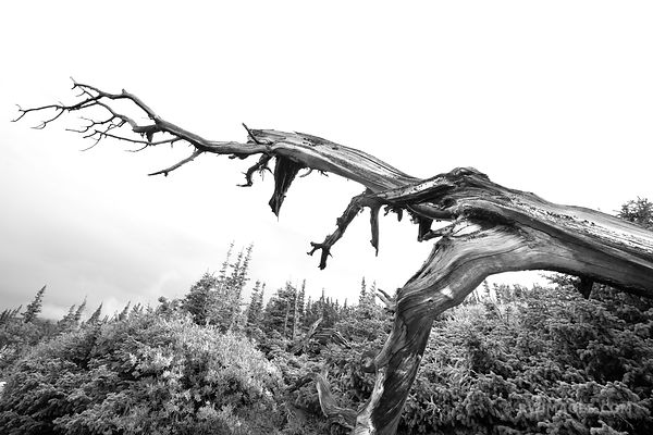BRISTLECONE PINE MOUNT GOLIATH NATURAL AREA ARAPAHO ROOSEVELT NATIONAL FOREST BLACK AND WHITE