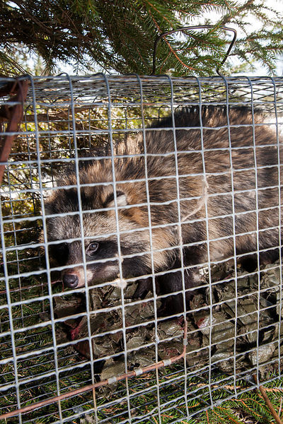 Raccoon Dog in hunting trap
