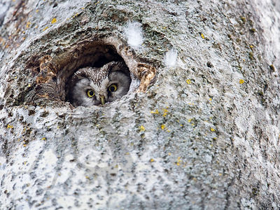 Tengmalm´s Owl Looks from the Nest