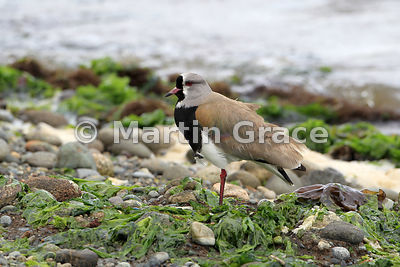 Southern Lapwing (Vanellus chilensis), Chiloe Island, Chile