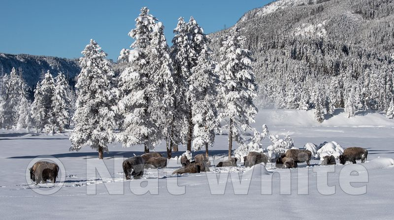 Bison_in_snow-1936_January_21_2018_Nat_White