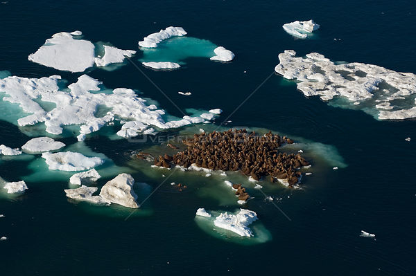 Walrus (Odobenus rosmarus) herd resting on and swimming around a chunk of pack ice during the spring breakup. Chuckhi Sea, of...