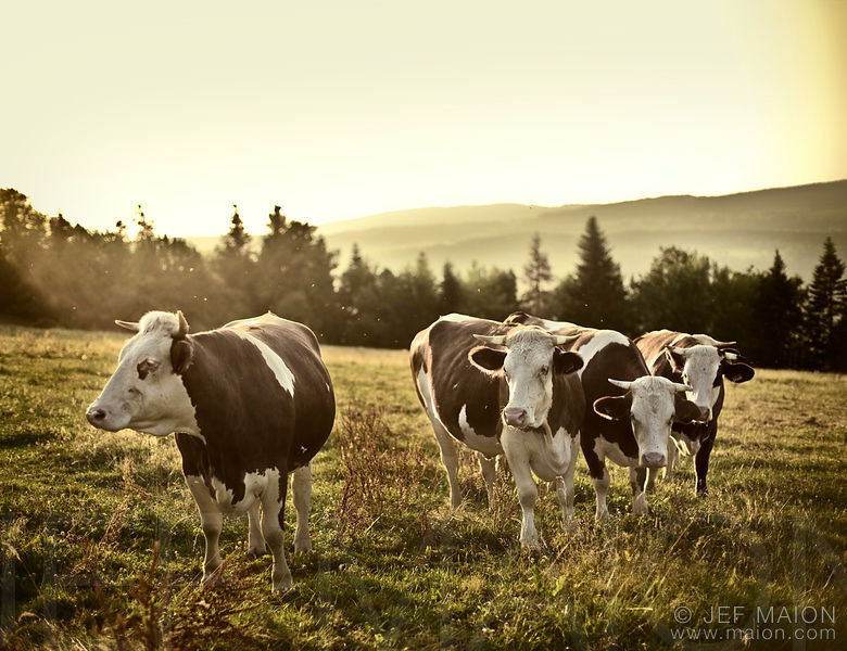 Cows in idyllic landscape