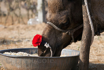 A camel with a red bow eats fodder at the Pushkar Camel Mela, Pushkar, India.