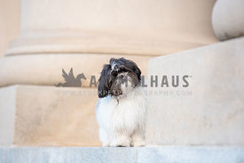 black and white shih tzu with underbite tilting head standing in front of white columns