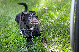 black-dog-with-harness-laying-in-grass-next-to-wheelchair-tire