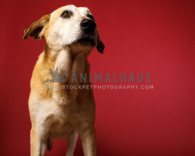 yellow lab mix red background studio looking to side