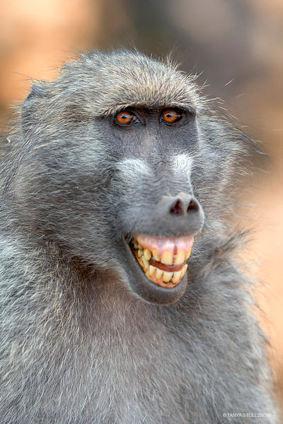Chacma Baboon, KNP, South Africa