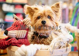 yorkshire terrier sitting in bucket with stuffed dog toys