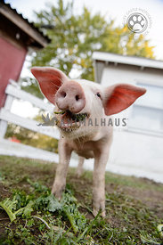 smiling baby pig eating greens