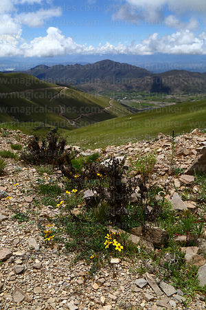 Flowers on hillside above Calderillas Valley, Cordillera de Sama Biological Reserve, Bolivia