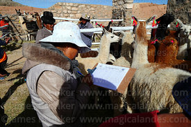 Woman noting details of animals that have been selected for participation in competition, Curahuara de Carangas, Bolivia