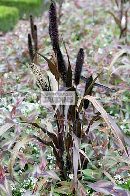 Association, Pennisetum glaucum Purple Majesty (millet à chandelle pourpre), Bullrush millet, Cattail, Poaceae, Graminée annuelle, Herbe décorative, Persicaria macrophylla Red Dragon (persicaire), Smartweed, Knotweed, ..