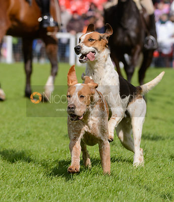 Parade of Hounds, Badminton Horse Trials 2014