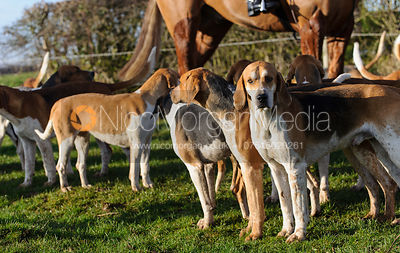 Belvoir Old English hounds - Belvoir Hunt at Grange Farm, Scalford 8/12